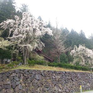 八万神社(万石)の枝垂れ桜