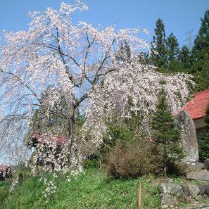 白山神社(小瀬)の枝垂れ桜