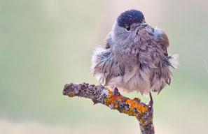 Paseriforme - curruca capirotada macho