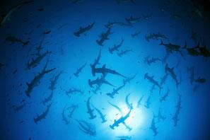 Große Schule von Hammerhaien an der Wasseroberfläche