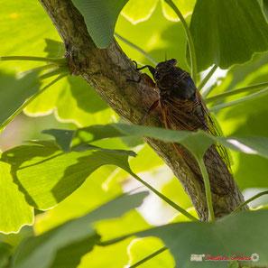 Cigale sur branche de ginko biloba. Cénac, 1er juillet 2018