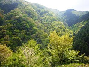 白丸ダム周辺の新緑