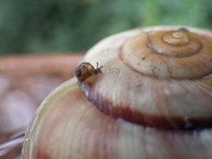 殻の上に小さなカタツムリ