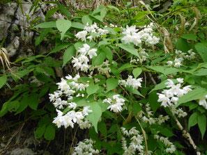 ヒメウツギの花