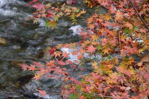 日原川右岸のイロハモミジ(氷川渓谷)
