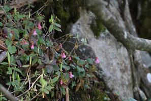 アカバナヒメイワカガミは咲き始め