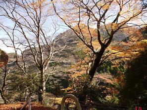 境のイロハカエデの巨樹