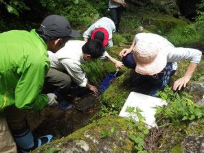 水生昆虫観察