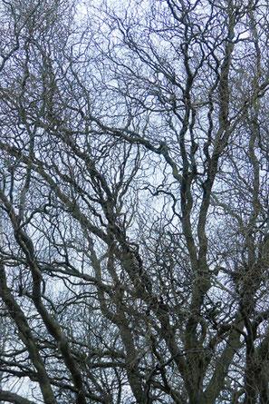 Korkenzieherweide Baum