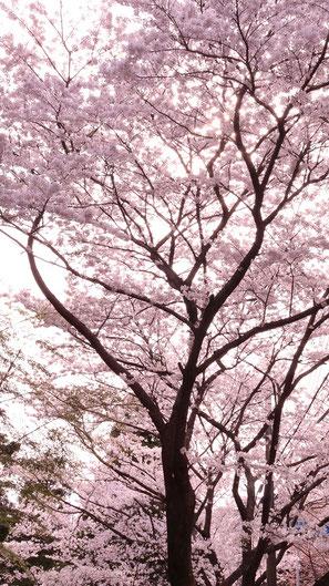 ピンク色の桜写真フリー素材 Pink cherry blossom photo free material