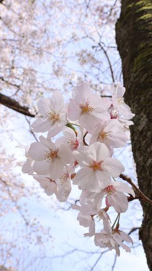空と桜の画像フリー素材 Sky and cherry blossom image free material