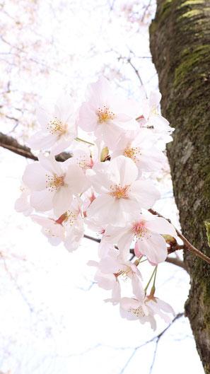 淡い色の桜の写真フリー素材 Photo free material of pale cherry blossoms