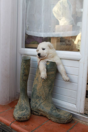 34 herault montpellier bezier nimes berger blanc suisse chiot a vendre vends lof washita ahow