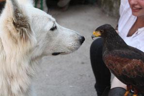 elevage vente concour reprberger blanc suisse et fauconnerie buse de harris fauconnier aigle faucon