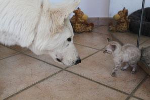 chien berger blanc suisse et chat bengal,en harmonie. Une bonne sociabilisation est importante.