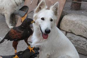 berger blanc suisse et fauconnerie buse de harris fauconnier aigle faucon