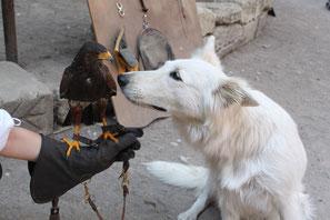 fauconnerie et loups blancs berger blanc suisse spectacle