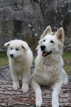 Chiot Eagle Ice of Washita Ahow berger blanc suisse Elevage Montpellier