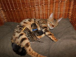 bengal tragend bengalzucht rhinluch bengalkitten kitten berlin brandenburg spotted rosetted