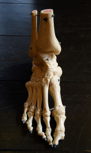 足部の骨は26個、内14個がつま先にあります