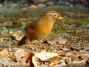 ・2007年1月13日 浅間山公園(東京都)   ・台湾、中国南部、インドシナに分布。 日本では1980年代から東京、神奈川、山梨、福岡などで野生化し繁殖。