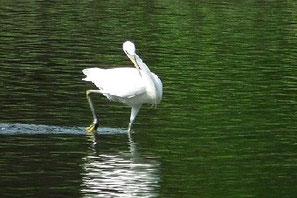 ・2011年7月1日 葛西臨海公園  ・汽水池の擬岩前で、頸から上を斜め傾け、小走りで採餌していた。