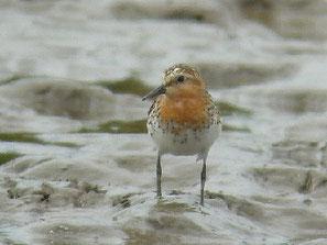 ・2009年7月20日 牛久沼田んぼ  ・休耕田で、コチドリに混じっていた1羽。