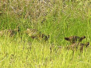 ・2007年11月18日 新川耕地  ・草むらからキジのメスが出てきたので、カメラを構えると、あとから続いてゾロゾロと出てきた。 キジの家族かと思ったが、よく見るとコジュケイだった。