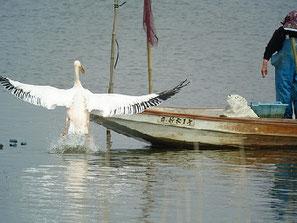 ・2007年4月7日 北印旛沼  ・漁のボートが船着き場を出ると、後を追うように飛び立った。よたよた歩く地上の姿からは考えられない見事な飛びだ。それにしてもデカイ。漁師さんの顔色を覗いながら、『エイッ!』と飛び乗った。