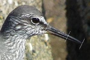 ・メリケンキアシシギの嘴は黒く、鼻孔から続く溝が、嘴の2/3程度。