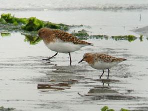 ・2009年5月16日 三番瀬  ・ミユビシギ(左)とトウネン(右)。 夏羽は、お互いよく似ているが、大きさの違いで区別がつく。