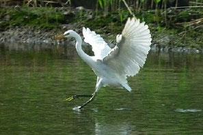 ・2011年7月1日 葛西臨海公園  ・時には羽を広げ、20mばかり急速移動もしていた。