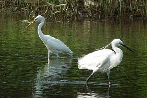 ・(左)カラシラサギ、(右)コサギ   ・図鑑では、カラシラサギL65cm、コサギL61cmとなっているが、コサギ大で嘴が黄色と思えばいい。コサギは年中を通じて嘴が黒い。 冠羽はコサギの方が特徴的だっただった。