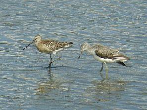・2008年8月31日 東京港野鳥公園  ・ほとんど単独で行動していたが、アオアシシギとは相性が良かった。