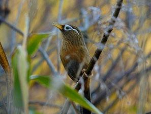 ・2009年11月28日 北本自然観察公園  ・大音響のド迫力。すぐ近くで鳴いていた。