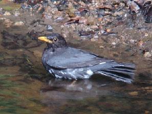 ・♂ 2006年6月24日 伊香保森林公園  ・池の周囲の枝に一旦とまってから下りてくる。枝の葉っぱが揺れたら即カメラの電源をオンにした。