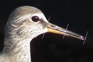 ・キアシシギの下嘴基部は淡黄色で、鼻孔から続く溝が、嘴の1/2程度。
