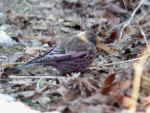 ・2008年3月8日 筑波山  ・♂成鳥冬羽は、前頭と顔から喉まで黒く、後頭から後頸と側頸はバフ色。雨覆と風切の一部が赤紫色。嘴は黄色く先端が黒い。