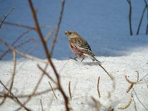 ・2008年3月8日 筑波山  ・雪の上にこぼれた草の実を探していた。