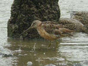 ・2007年9月30日 葛西臨海公園  オオハシシギは雌雄同色。これは夏羽。
