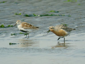 ・2009年4月30日  三番瀬  ・左が腹が黒い夏羽になったハマシギ。 コオバシギ(右)の方が一回り大きい。