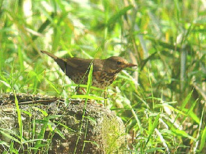 ・♀ 2009年4月18日 光が丘公園  ・出現は突然だった。 見た感じ、赤っぽいことから、ハチジョウツグミと思ったが、モニタで、腹の黒点が確認できクロツグミと同定した。