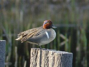 ・2009年3月20日 谷津干潟  ・冬鳥コガモに混じって、少数が渡来するという。