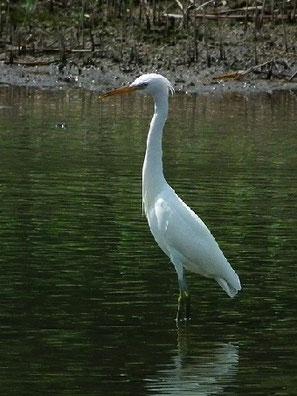 ・2011年7月1日 葛西臨海公園  ・カラシラサギの特徴として、『後頭に房状の冠羽があり、また、頸の付け根、胸、背に長い飾り羽がある。』とされているが、本個体は、冠羽、飾り羽とも、特徴的に際だっているというほどではなかった。