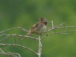 ・ホオアカ 幼鳥 2007年7月7日 日光戦場ケ原