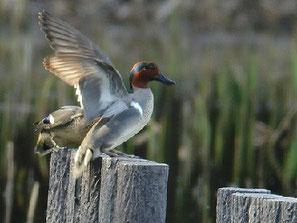 ・2009年3月20日 谷津干潟  ・下にいたコガモが、上に飛び移ってきたので、慌てるアメリカコガモ。