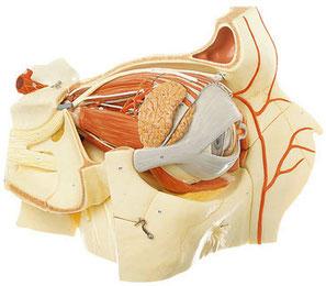 Modello di cavità e bulbo oculare completo di ghiandola lacrimale e annesso palpebrale.