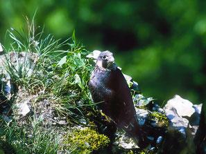 Junger Wanderfalke   (Foto: Manfred Henkel)