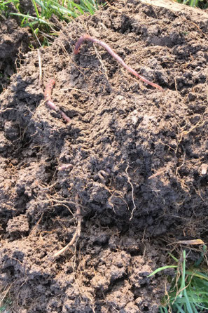 Stark durchwurzelter Ackerboden, in dem sich viele Regenwürmer tummeln