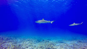 blacktip shark in a clear water of the dive spot in BOra Bora